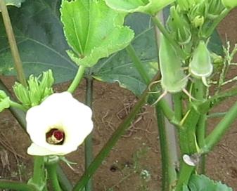 オクラ花と実