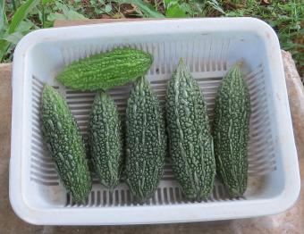 ゴーヤ収穫物