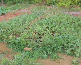 スイカ栽培菜園