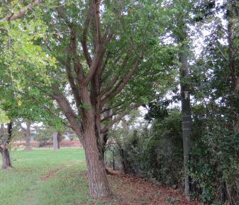 ギンナンの木と細い散歩道