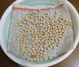ギンナン収穫物水洗い乾燥