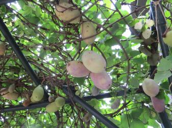 新アケビの木と実の様子