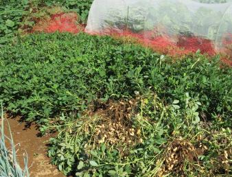 様子茹で豆用落花生の収穫直前の