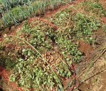 茹で豆用落花生の乾燥