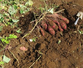 サツマイモのイモ(ベニハルカ)