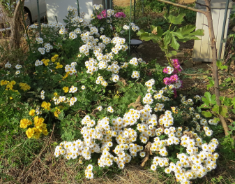 無農薬菜園の菊花