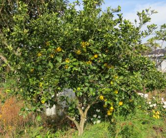 カボスの樹と実
