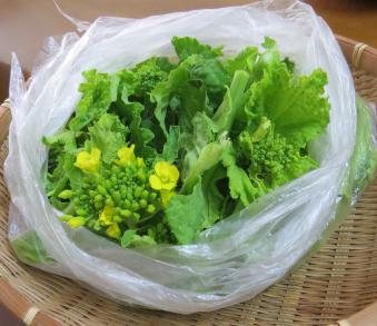 収穫物早生菜花
