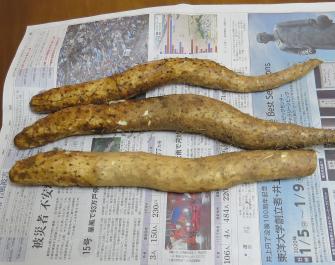 ヤマイモ収穫物(中サイズ)
