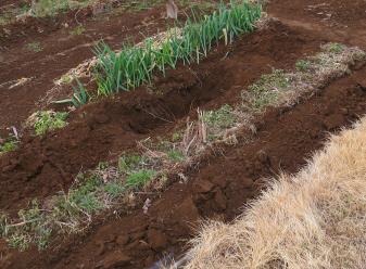 アスパラガスの畝の傍に穴を掘る