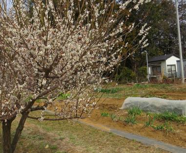梅の花咲く我が菜園3月上旬