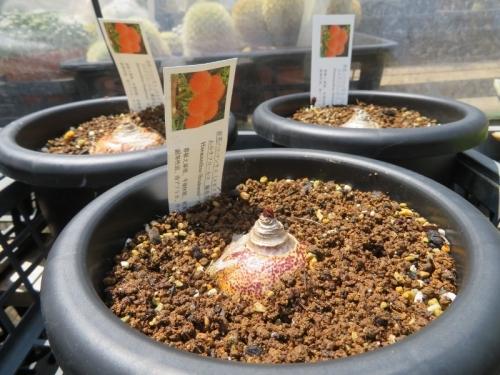 ハエマンサス(スカドクサス)・ムルチフローラ(Haemanthus=Scadoxus multiflorus)、線香花火、ようやく動きました♪2019.06.25