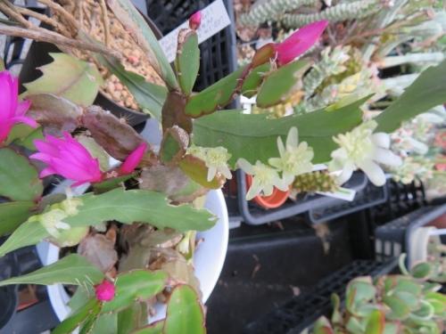 レピスミウム・花柳(白花)、イー<br />スターカクタス(紫ピンク花)同時開花していたのでコショコショしてみました♪2019.06.30