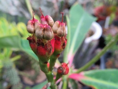 ユーフォルビア・噴火竜(Euphorbia viguieri)咲いたかと思ったら、もう種♪2019.07.03