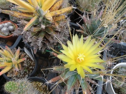 レウクテンベルギア・光山=晃山(こうざん)Leuchtenbergia principis、雨でも午前中咲いている一番花♪2019.07.04