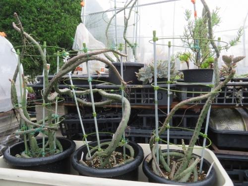セレニセレウス・夜の女王系2019.06.03に草花用培養土、7・8号鉢に植え替えました。2019.07.05