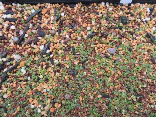 リトープス実生苗④⑥からの自家採取種子♪蒔いたのは2019.01.19~ようやく発芽2019.07.06