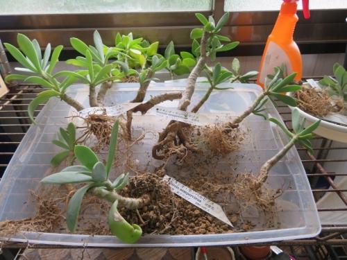 セネシオ・センペルビブス(Senecio sempervivus)塊茎2019.07.08