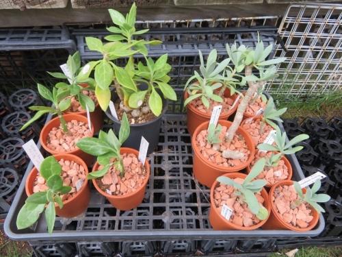 セネシオ・センペルビブス(Senecio sempervivus)(右)、セネシオ・バリー(Senecio ballyi)(左)~植え替え後♪2019.07.08