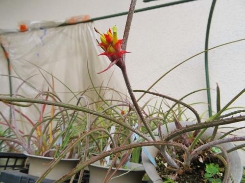 アカントスタキス・ストロビラケア(Acanthostachya strobilacea)花♪2019.07.11