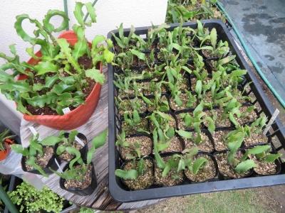 ミニドラゴンフルーツ(Epiphyllum guatemalense f.monstrosa)開花苗と実生苗(2016.09.10)~2019.07.12