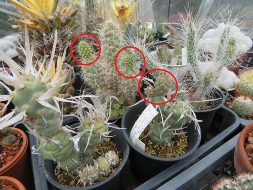 テフロカクタス・白狐(Tephrocactus weberi)、鷺鳥和尚(Tephrocactus dimorphus)、武蔵野(Tephrocactus articulatus)2019.07.13