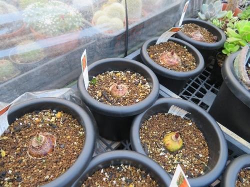 ハエマンサス(スカドクサス)・ムルチフローラ(Haemanthus=Scadoxus multiflorus)、線香花火、動き始めた新芽2019.07.17