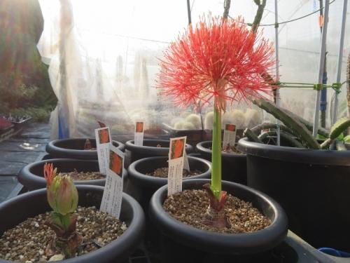 ハエマンサス(スカドクサス)・ムルチフローラ(Haemanthus=Scadoxus multiflorus)第一号開花♪2019.07.25