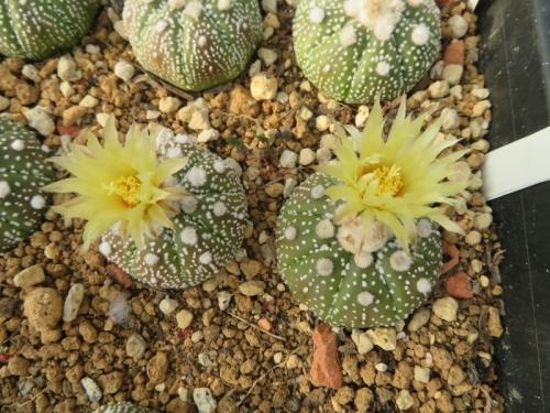 アストロフィツム・兜丸(Astrophytum asterias cv.)蕾がたくさん上がるので蕾欠きしていたのですが、2花咲いてしまいました。2019.07.25