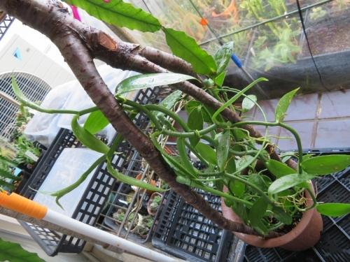 バニラ・プラニフォリア(Vanilla planifolia)2019.07.27