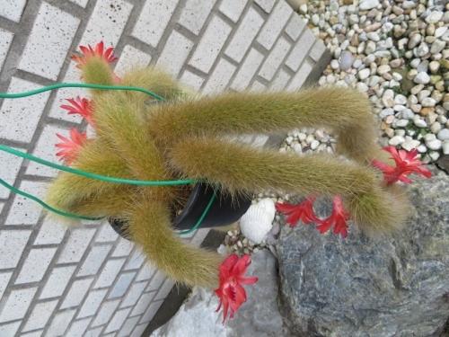ヒルデウィンテラ・カラデモノニス(Hildewintera colademononis)赤い花♪たくさん開花中~2019.07.30