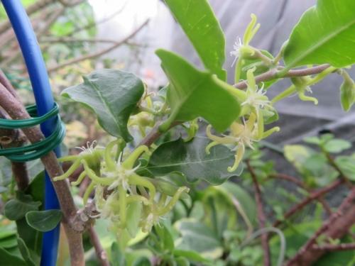フォッケア・エデュリス(Fockea edulis)雄花がたくさん咲いています。2019.08.03