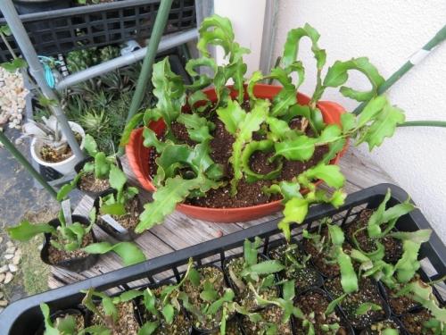 ミニドラゴンフルーツの大苗を植え替え挿し木しておきました2019.07.12