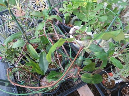 ぺトペンチア・ナタレンシス(Petopentia natalensis)南アフリカ原産、塊根性2019.08.11