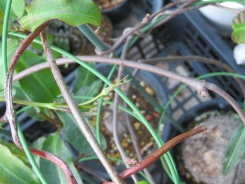 ぺトペンチア・ナタレンシス(Petopentia natalensis)南アフリカ原産、花芽?新葉?塊根性2019.08.11