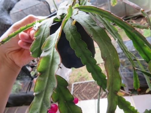 レピスミウム・クルシフォルメ(Lepismium cruciforme)、薄い昆布状葉、花も咲きながら赤い実(種子)ができました♪2019.08.16