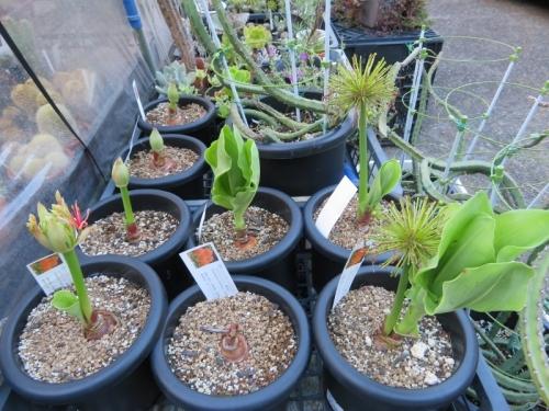 スカドクサス(ハエマンサス)・ムルチフローラ、台風一過の雨後、あっという間に花芽が動いています♪20119.08.18