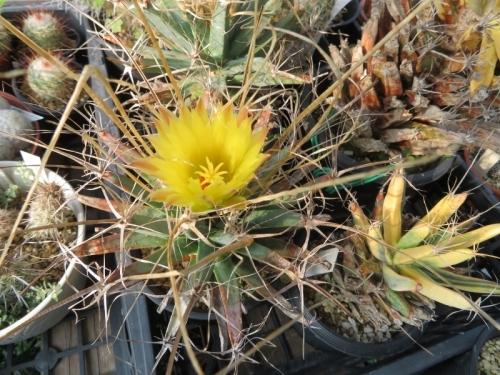 レウクテンベルギア・晃山(こうざん)(Leuchtenbergia principis)~原産地:メキシコ中部~北部~まだまだ開花中♪2019.08.19