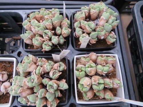 コノフィツム・花車(巻き赤花)脱皮の下には新葉がほぼ2つ2倍増しています♪2019.08.29