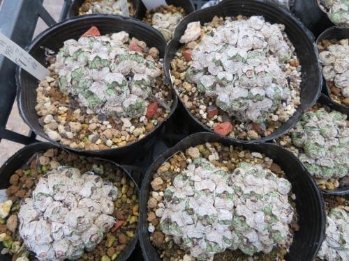 コノフィツム・清姫(クリーム白花)脱皮の下には新葉がだいたい2倍増しています♪2019.08.29