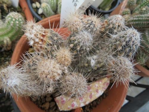 セティエキノプシス・奇想丸(白花)ハダニの被害で成長が止まっています。(ToT)2019.08.31