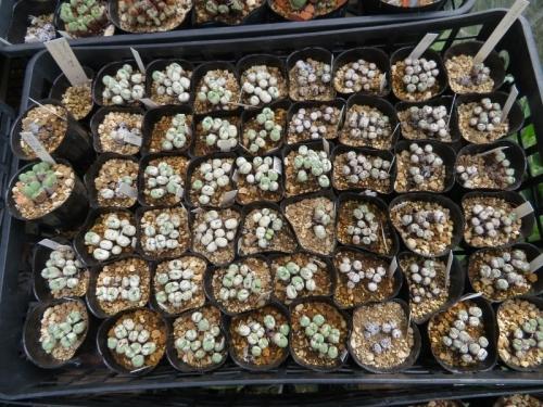 コノフィツム・ウィルヘルミー黄花(斑点のある小型玉形、右寄り小粒)、テトラカープム黄色(左寄り)剥け始めています。2019.09.01