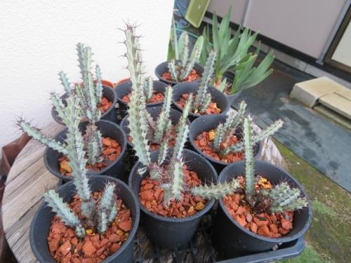 ユーフォルビア・グリーンウェイ(Euphorbia greenwayi)タンザニア原産、植え替えしました。2019.09.03