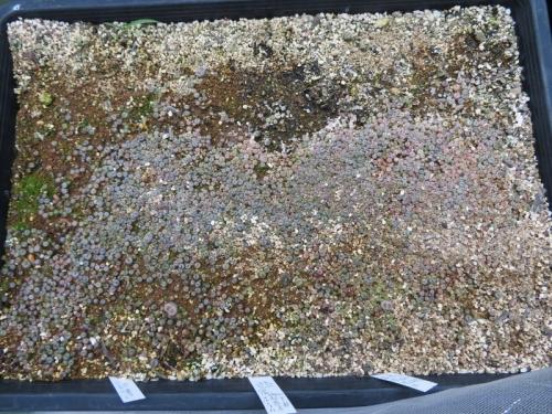 リトープス自家採取種子実生苗、大体3ヶ月経過(2019年6月発芽開始苗)まだ発芽中2019.09.04