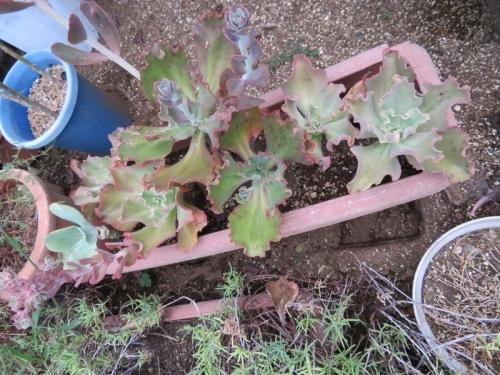 エケベリア・高砂の翁系、庭土で大プランターに植え付け雨さらしておきました。大きく育ち花芽が来ています。2019.09.04