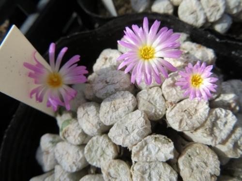 コノフィツム・エクティプムは、白い休眠薄皮のまま開花し始めます。2019.09.06