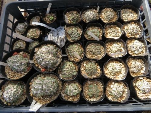 コノフィツム・清姫(夜咲、芳香、クリーム白花、もう一度底面給水しないとまだ剥けないかも2019.09.06