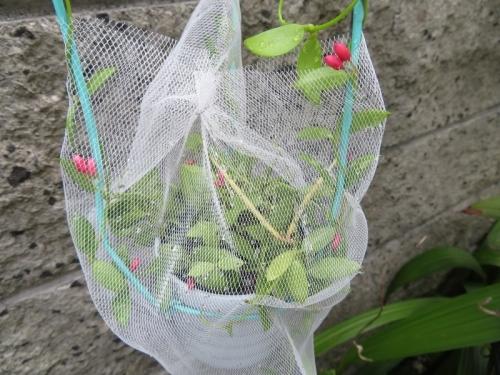 ディスキディア・ぺクチノイデス(カンガルーポケット)種が弾けたので飛ばないようにネットをかけました。2019.09.05
