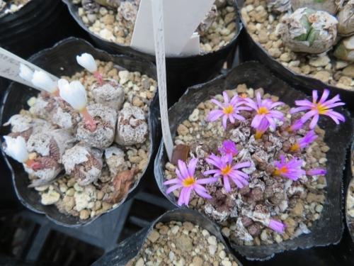 コノフィツム・ペルシダム(白花)、ルックホッヒー(ピンク花)、まだ底面給水していないのに古皮のまま開花しています。2019.09.12