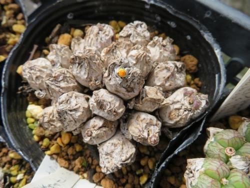 コノフィツム・エクティプム(オレンジ花)まだ皮が剥けないのに花芽が来ています。2019.09.15